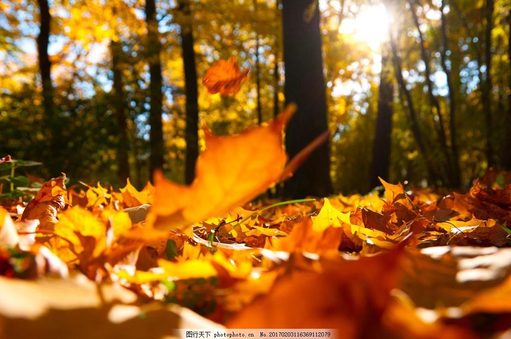 美丽枫树林 秋天枫叶 秋天树叶 秋季 枫叶 落叶 自然风景 其他风光