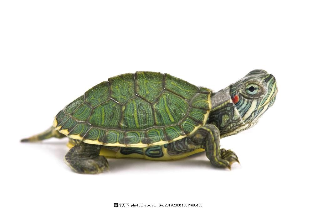 绿色乌龟 绿色乌龟图片素材 海龟 水中生物 动物 野生动物 动物世界