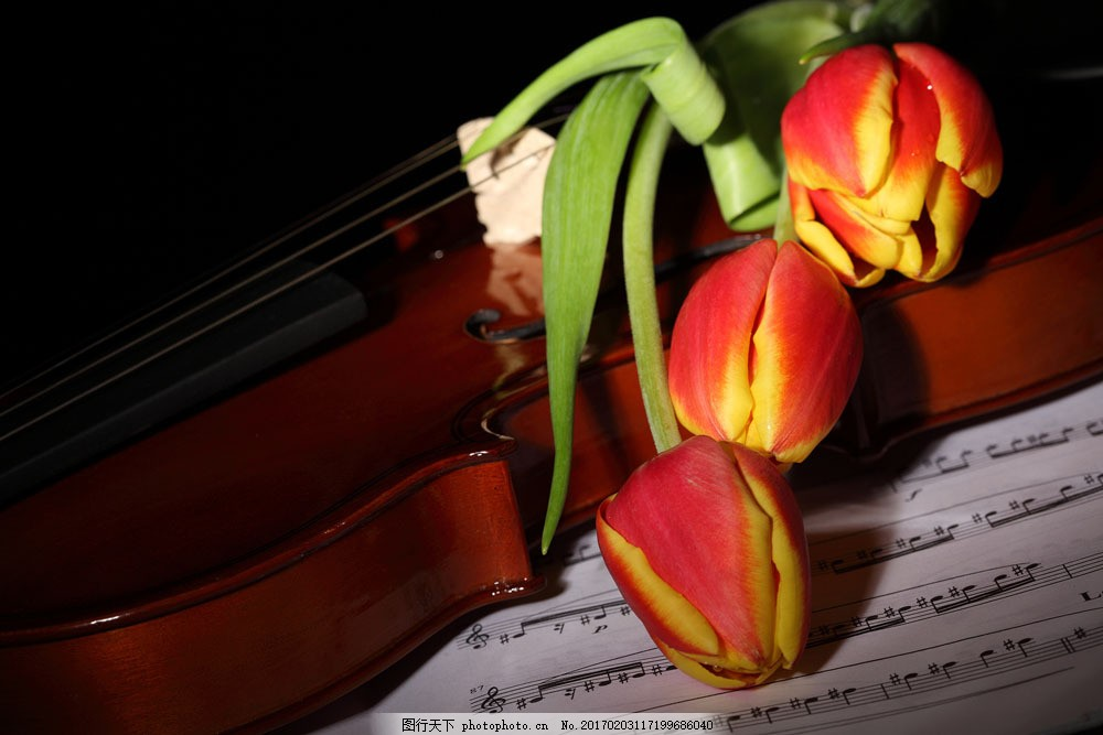 五线谱小提琴郁金香图片素材 郁金香 花朵花卉 美丽花朵 鲜花乐谱
