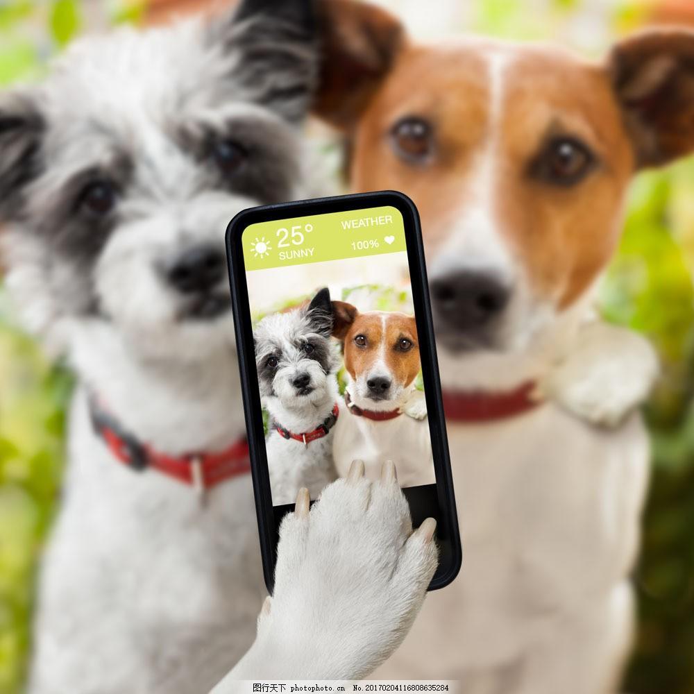 手机拍照的两只狗 手机拍照的两只狗图片素材 小狗 宠物狗 动物