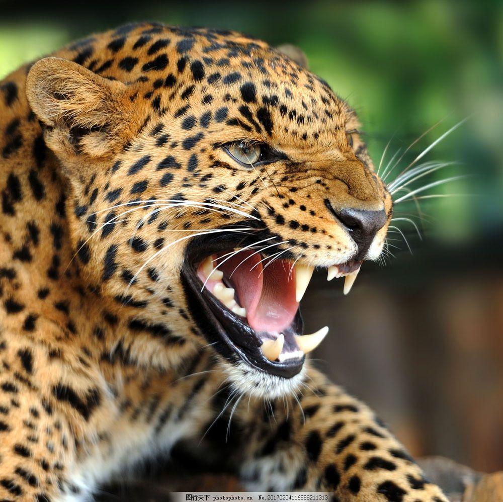 长大嘴的猎豹 长大嘴的猎豹图片素材 张嘴 动物 动物世界 动物摄影