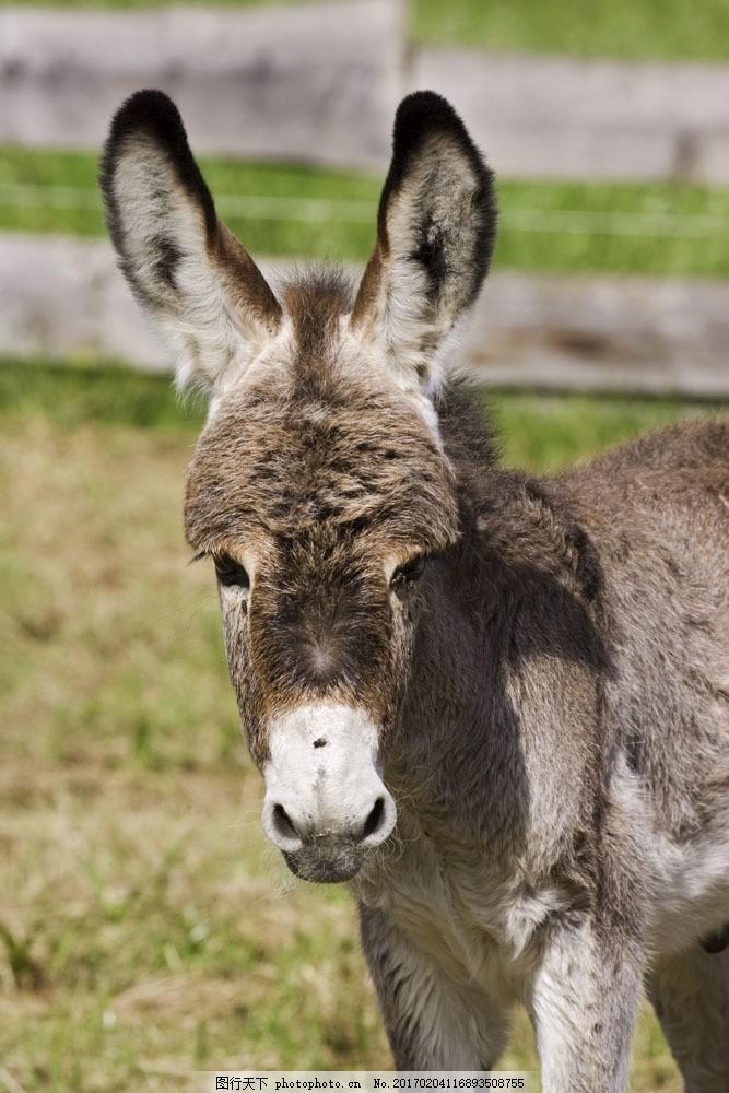 毛驴摄影图片素材 毛驴 驴 动物世界 摄影图 陆地动物 生物世界 图片