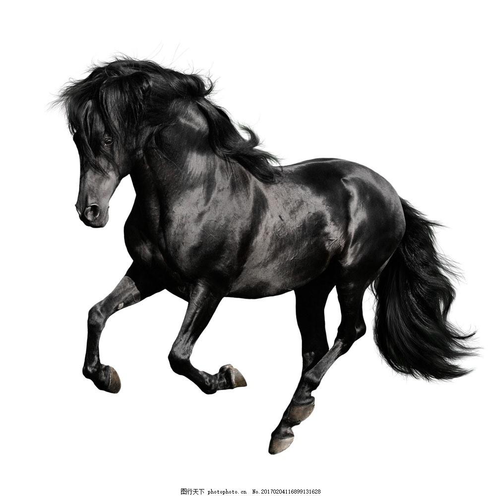 狂奔的黑色马 狂奔的黑色马图片素材 一匹 奔跑 黑马 飞奔 骏马