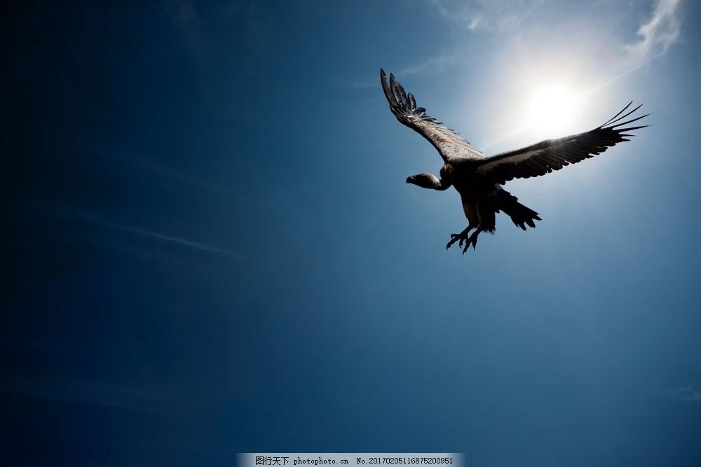 天空翱翔的老鹰 天空翱翔的老鹰图片素材 非洲野生动物 动物世界
