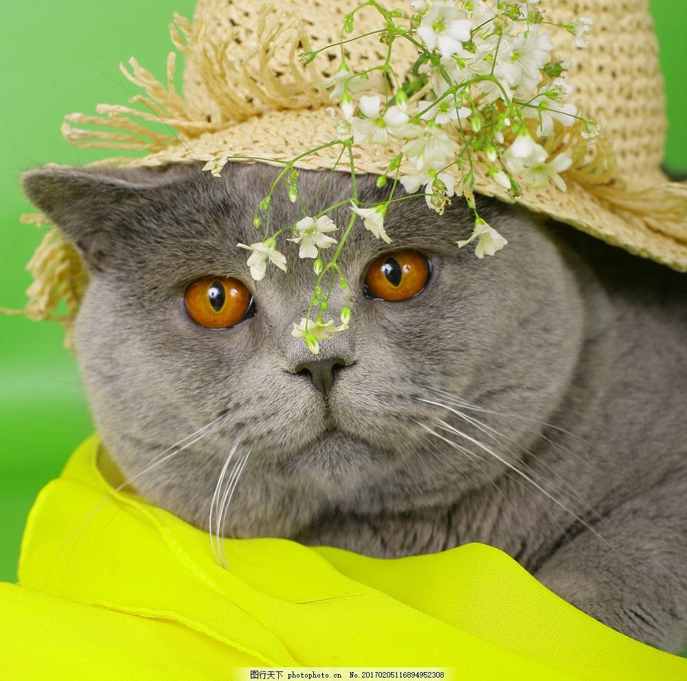戴帽子的英国猫图片素材 可爱英国短毛猫 可爱 猫咪 猫 家禽家畜 生物
