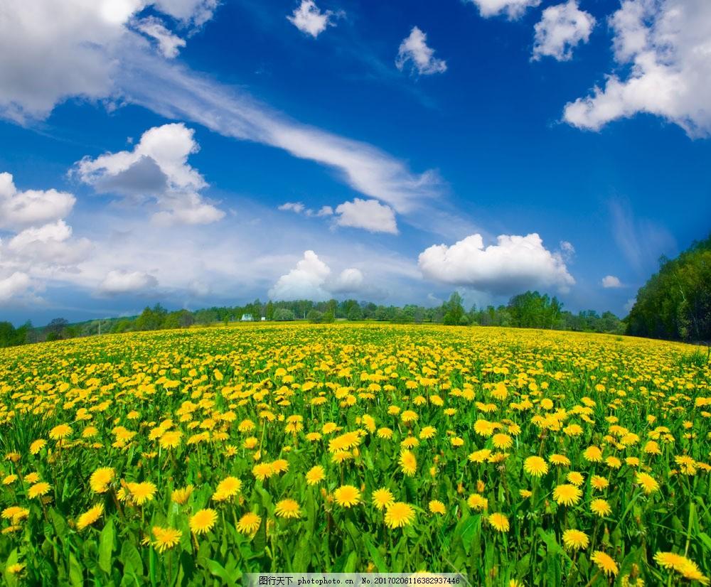 蒲公英花海 蒲公英花海图片素材 蓝天白云 草地 自然 风景 高清图片