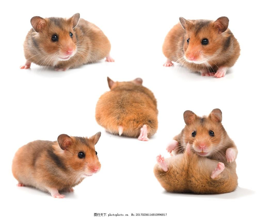 可爱小仓鼠图片素材 可爱 小老鼠 仓鼠 小动物 宠物 陆地动物 生物
