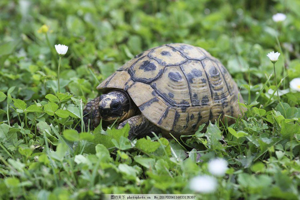 乌龟摄影 乌龟摄影图片素材 海龟 野生动物 动物世界 陆地动物