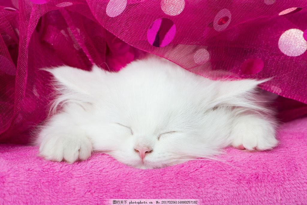 睡着的白猫 睡着的白猫图片素材 可爱猫 宠物猫 小猫 猫咪 动物