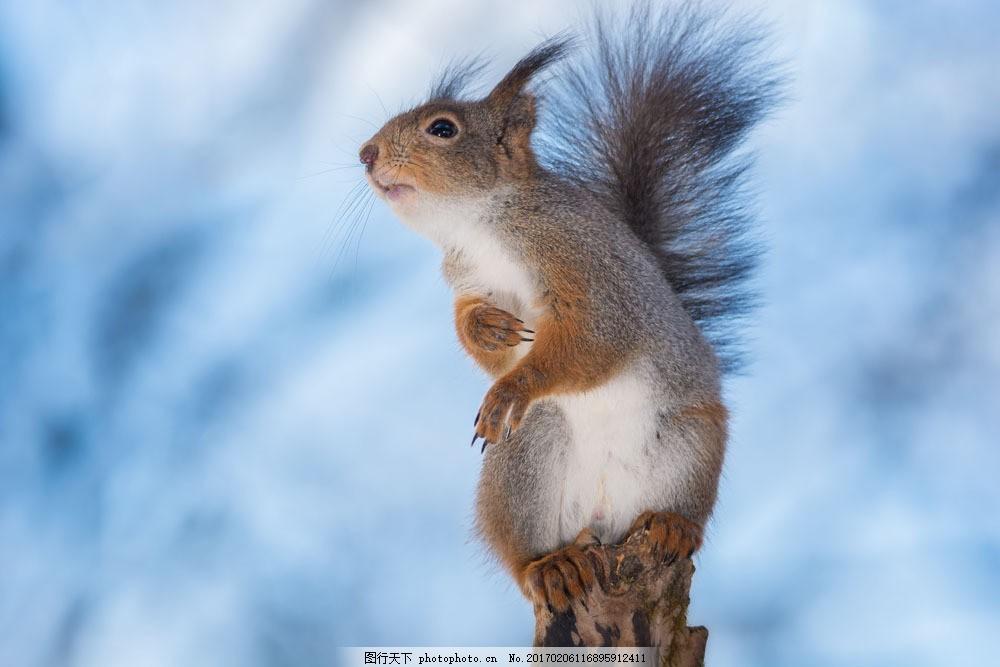 蓝天下的松鼠 蓝天下的松鼠图片素材 动物 野生动物 动物世界 陆地