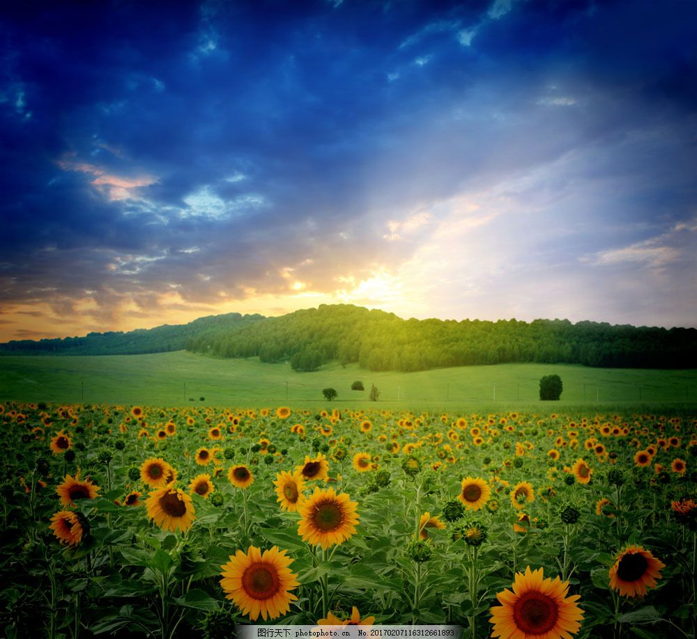 向日葵摄影图片素材 自然 风景 户外 美境 鲜花 花朵 向日葵 草地