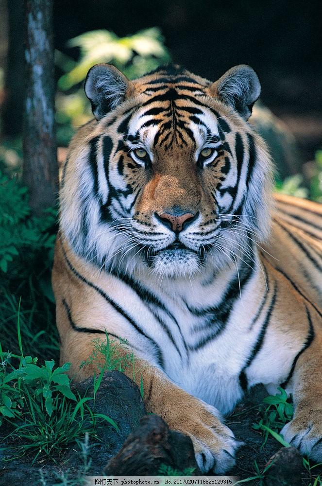 老虎摄影图片素材 野生动物 动物世界 哺乳动物 老虎 摄影图 陆地动物