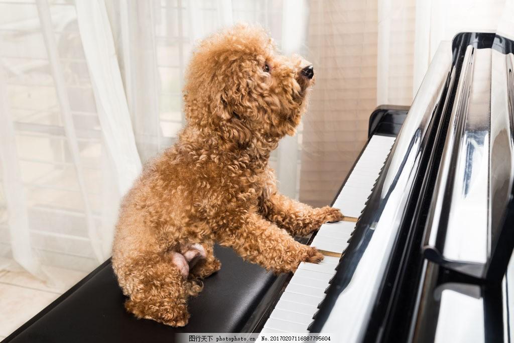 弹钢琴的可爱小狗图片素材 可爱宠物狗 动物 动物世界