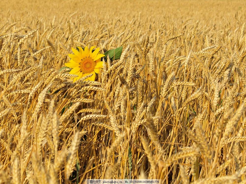 麦梗 麦田 丰收 收获 田园风光 自然景观 摄影 小麦 麦子 金秋 金黄色