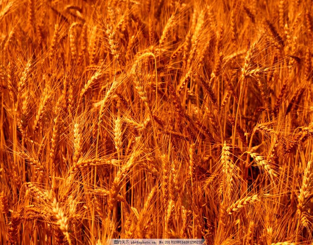 金秋小麦图片素材 麦梗 麦田 丰收 收获 田园风光 自然景观 小麦 麦子