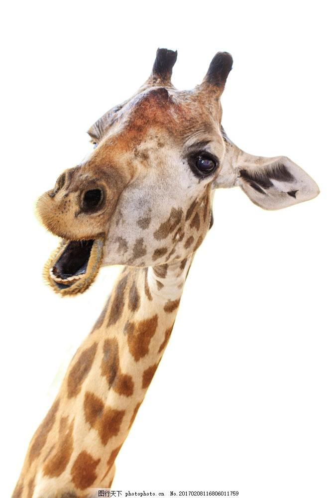 张大嘴的长颈鹿 张大嘴的长颈鹿图片素材 张嘴 动物 动物世界 动物
