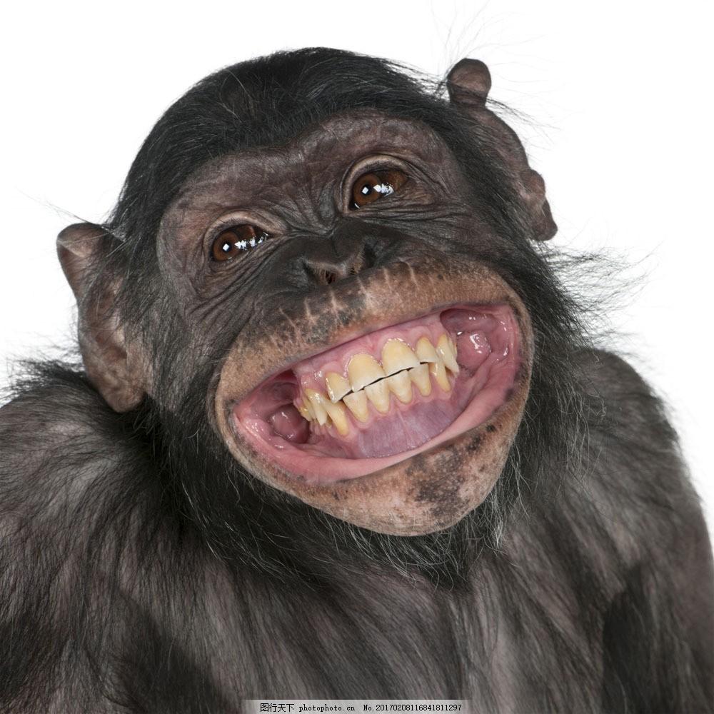 开心的黑猩猩 开心的黑猩猩图片素材 动物世界 野生动物 陆地动物