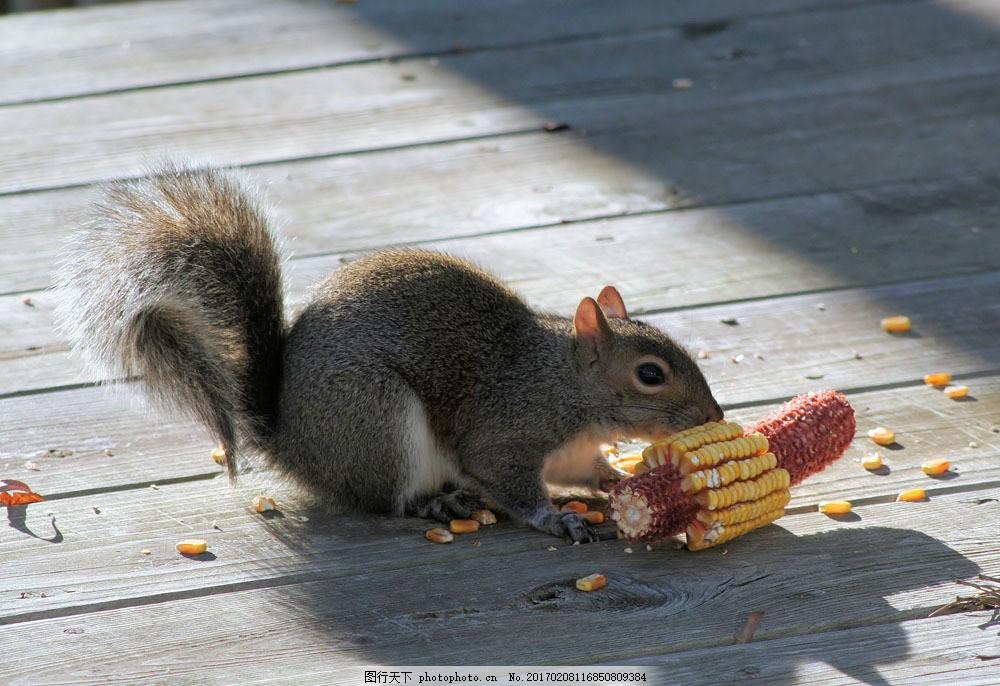 吃玉米的小松鼠 吃玉米的小松鼠图片素材 可爱 小动物 野生动物
