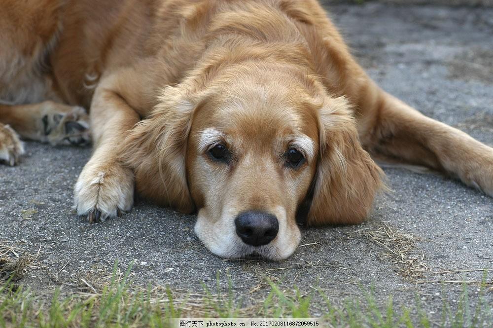 趴着的狗狗图片素材 宠物 可爱小狗 名贵 犬种 动物世界 宠物摄影