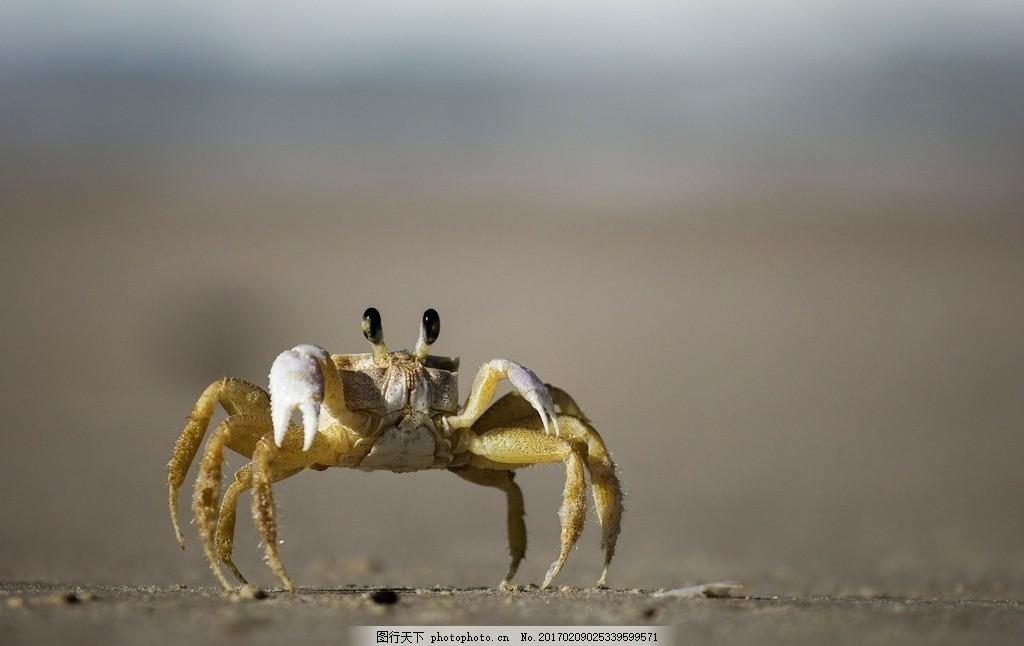 小螃蟹 行走中的 海蟹 沙滩 海滩上 生物 摄影