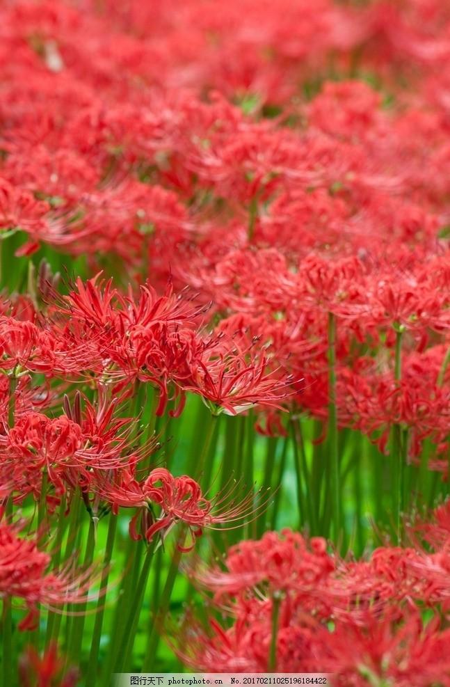 彼岸花 唯美 自然 鲜花 花朵 花卉 火红色 红花 曼珠沙华 植物