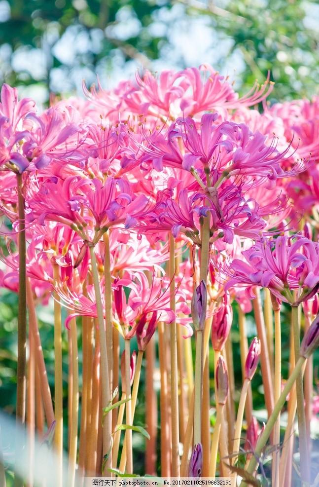 唯美 自然 鲜花 花朵 花卉 彼岸花 花草 火红色 红花 曼珠沙华 植物