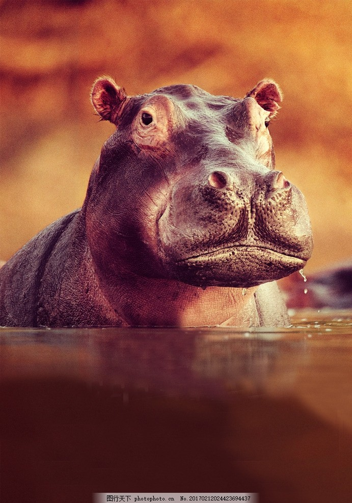 动物 生物 野生动物 非洲 河马 摄影 生物世界 野生动物 72dpi jpg