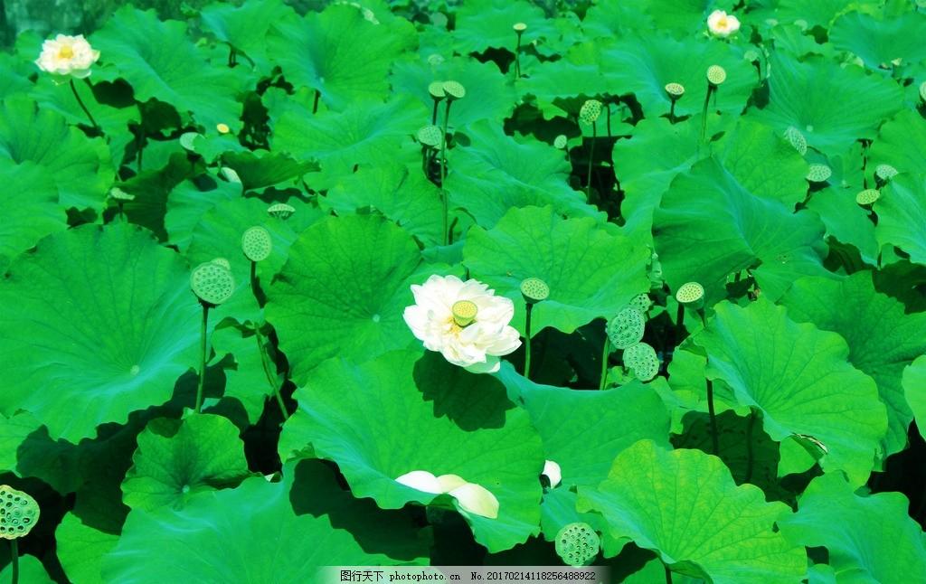 荷花 荷叶 荷塘 风景 风光 莲藕 自然风景 摄影 自然景观 自然风景 72