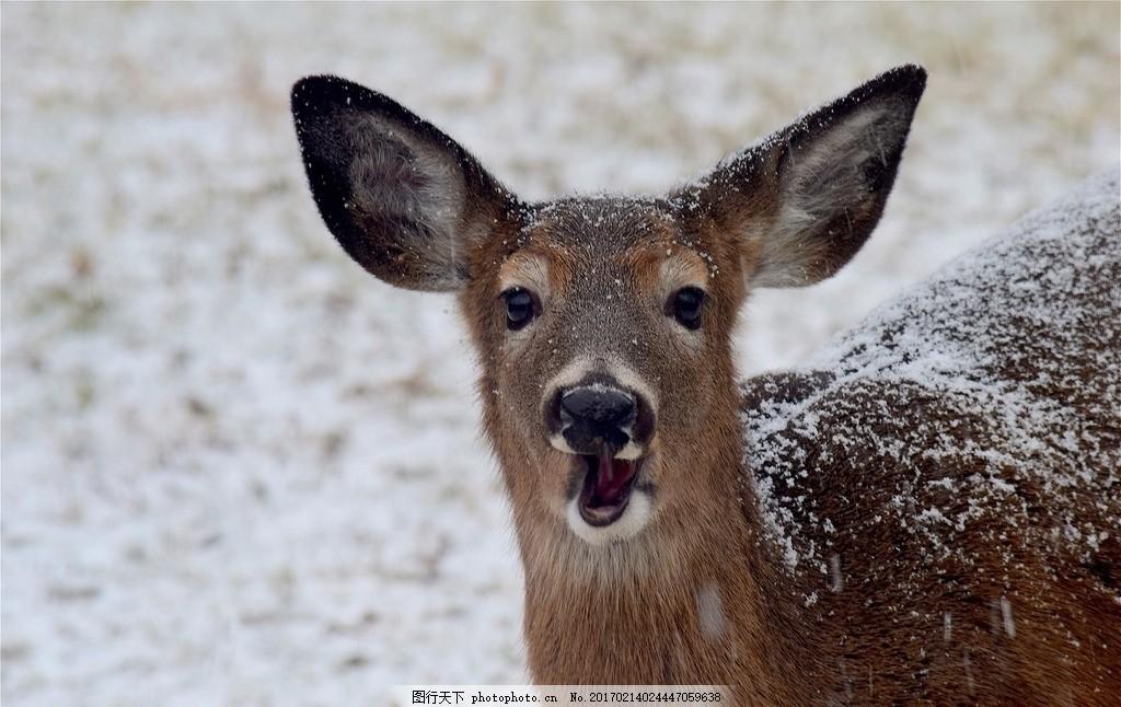 麋鹿 动物 自然 和谐 环境 生存 老虎 野生 动物园 百兽 摄影