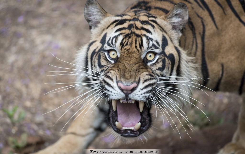 唯美 动物 可爱 虎 老虎 东北虎 摄影 生物世界 野生动物 300dpi jpg