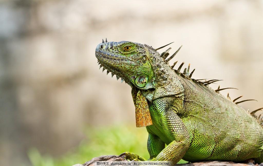 变色龙 唯美 可爱 动物 野生 蜥蜴属动物 可爱变色龙 萌萌的变色龙