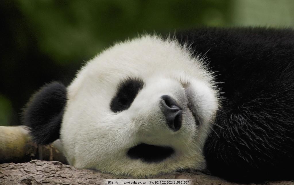 唯美 可爱 动物 野生 大熊猫 熊猫 可爱大熊猫 国宝大熊猫 摄影 生物