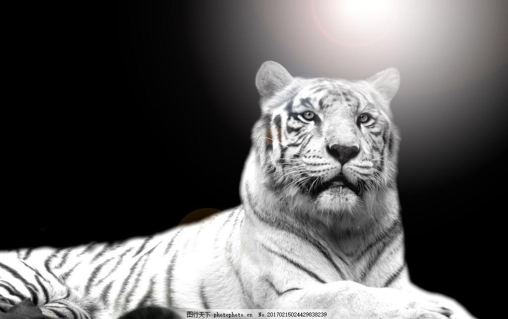 白虎 唯美 动物 可爱 老虎 孟加拉虎 孟加拉白虎 凶猛的老虎