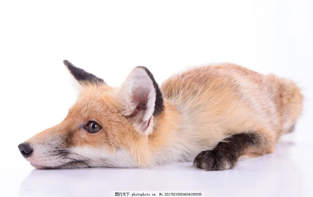 唯美 动物 可爱 野生 狐狸 红狐 可爱狐狸 摄影 生物世界 野生动物 30