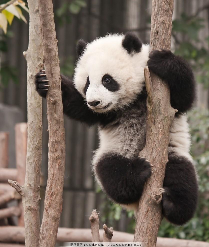 唯美 可爱 动物 野生 大熊猫 国宝大熊猫 摄影 生物世界 野生动物 300