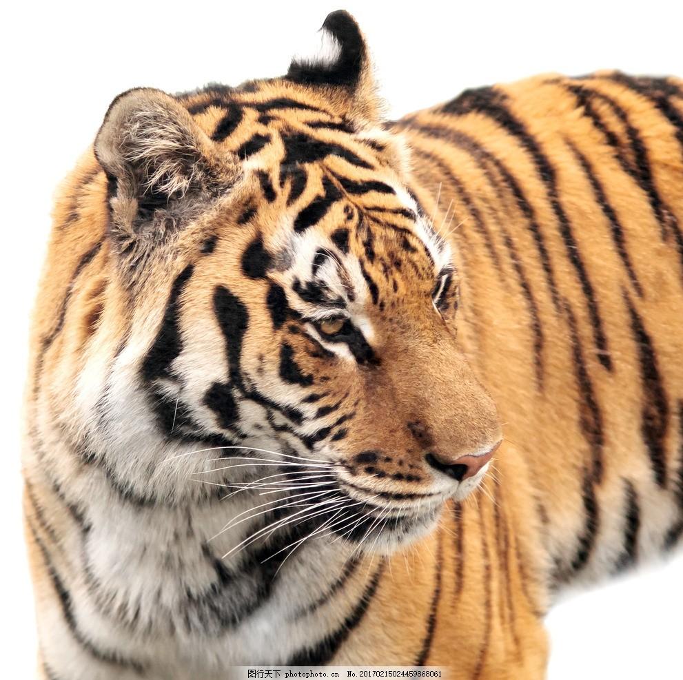 唯美 动物 可爱 虎 老虎 猫科动物 摄影 生物世界 野生动物 300dpi