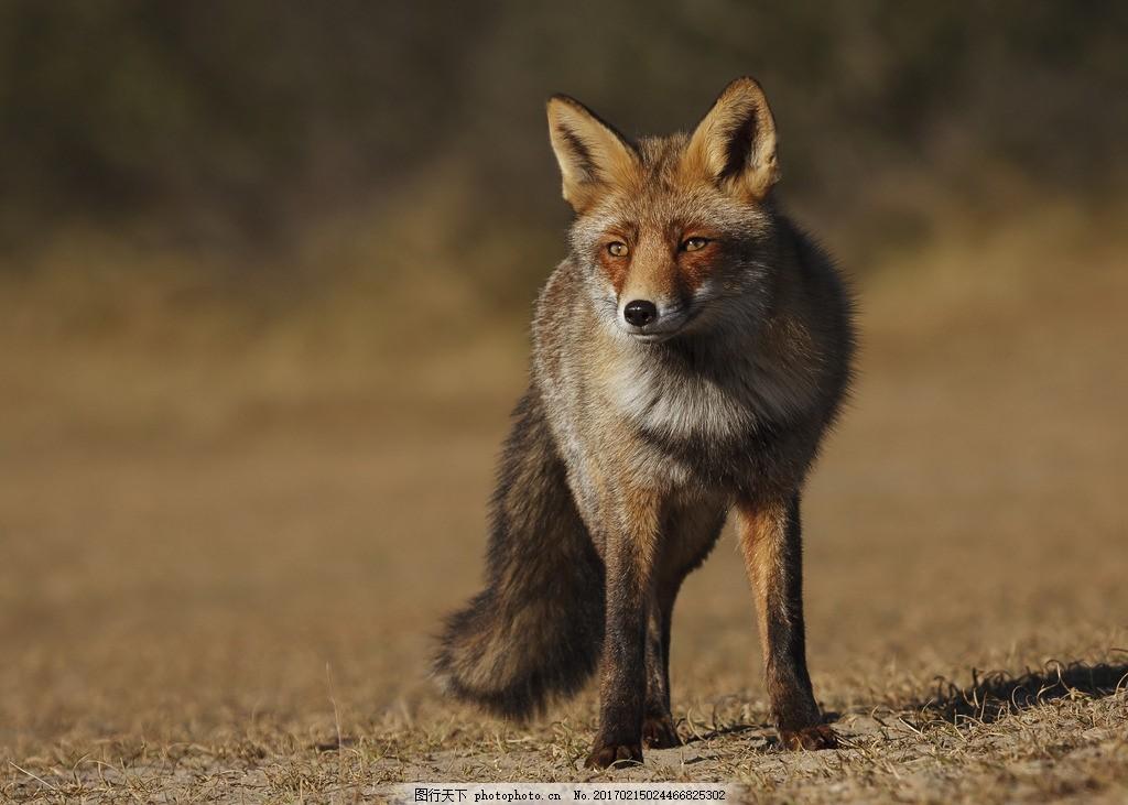 唯美 动物 可爱 野生 狐狸 红狐 雪狐 摄影 生物世界 野生动物 300dpi
