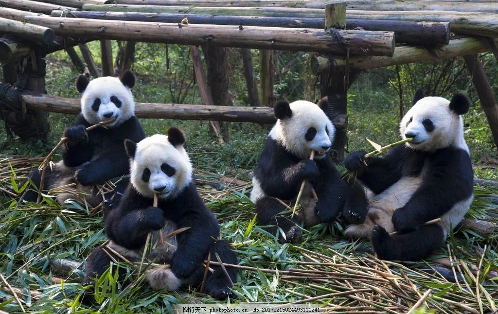 唯美 可爱 动物 野生 大熊猫 熊猫 摄影 生物世界 野生动物 300dpi