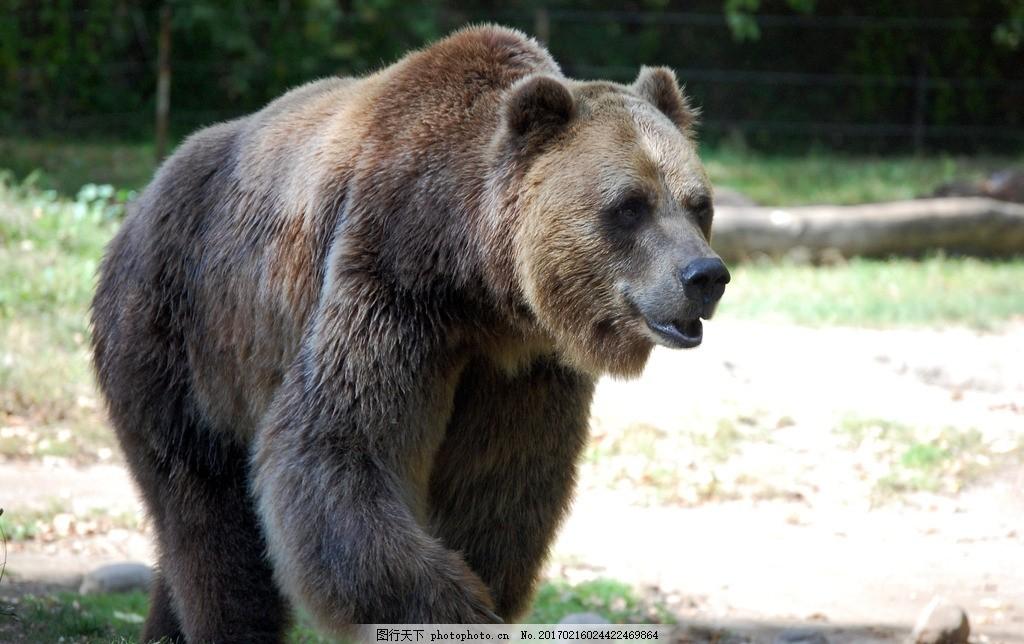 唯美 可爱 动物 野生 棕熊 熊 可爱棕熊 摄影 生物世界 野生动物 300