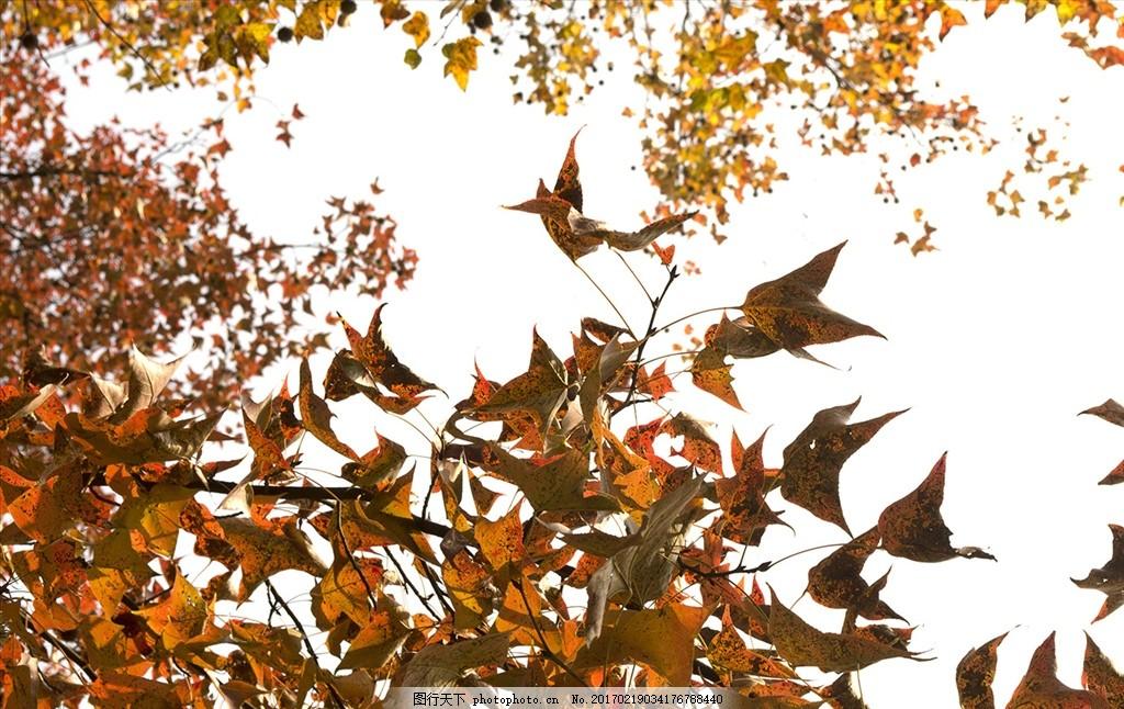秋天红叶 秋天 红叶 桂林 的红叶子 叶子 摄影 自然景观 自然风景 240