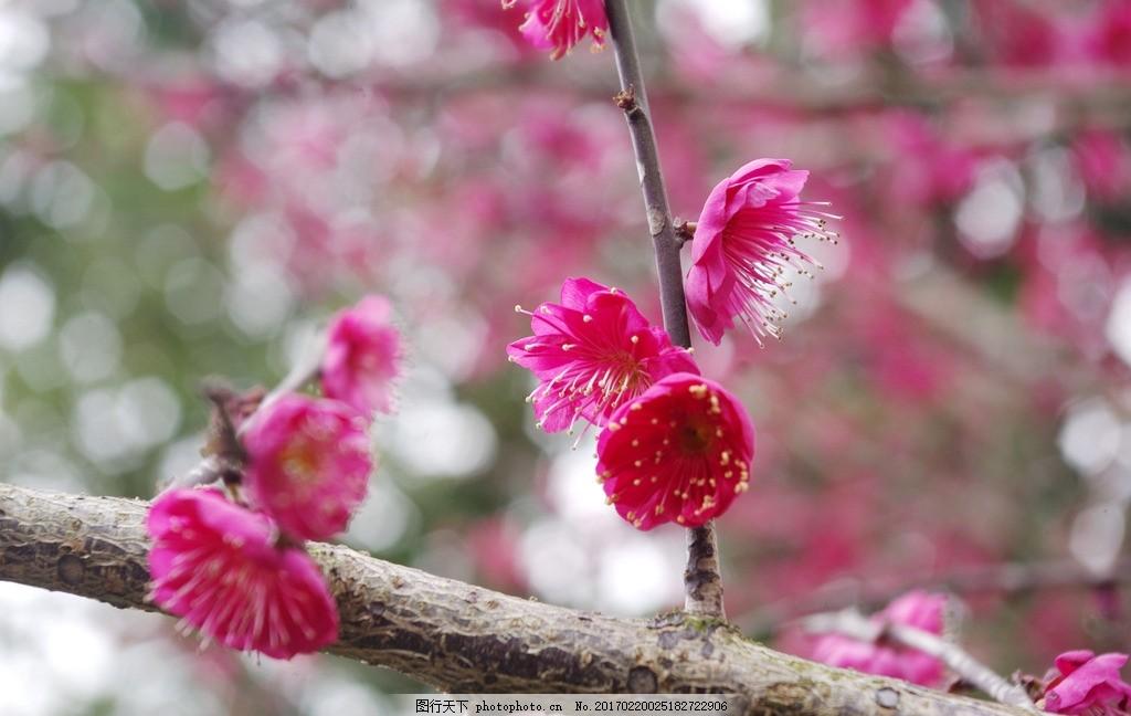 红梅 梅花 红梅树 红色花瓣 梅花树 红色花朵 鲜花 花海 树枝 树丛 树