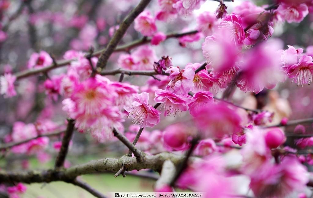 桃花 梅花 桃花树 粉色花瓣 梅花树 粉色花朵 鲜花 花海 树枝 树丛
