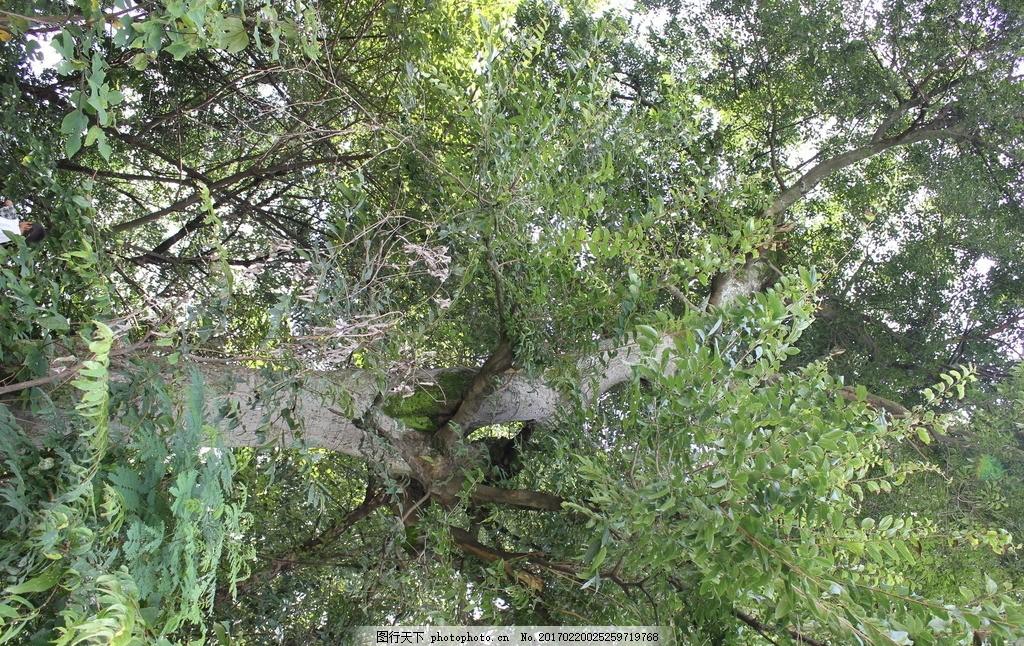 树叶 大树 树枝 树干 摄影