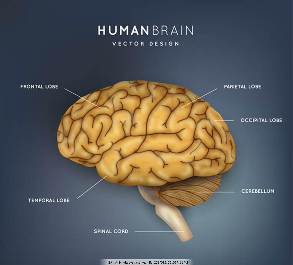 创意大脑结构图矢量素材