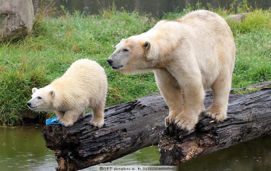 野外白熊 棕熊 动物 可爱 摄影 高清