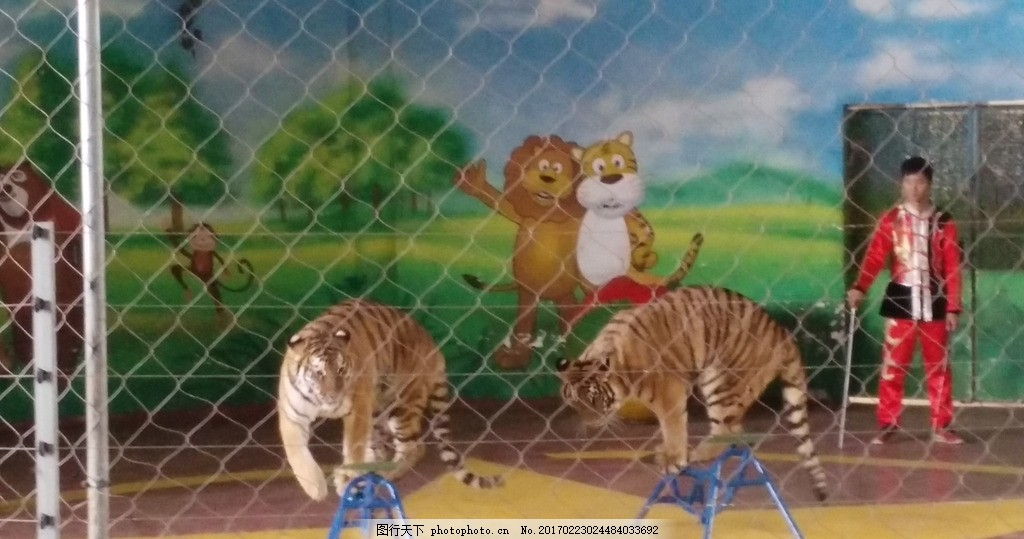 训虎表演 老虎 东北虎 演出 动物园 摄影