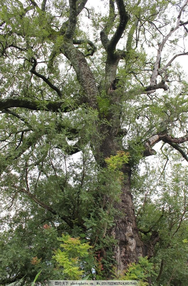树 大树 树枝 树干 树叶 摄影