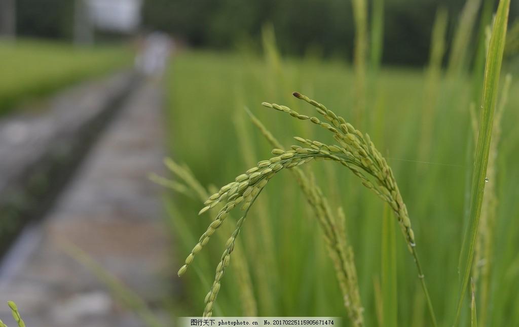 稻田,成熟 稻谷 稻穗 稻子 丰收 谷子 农田 水稻-图行