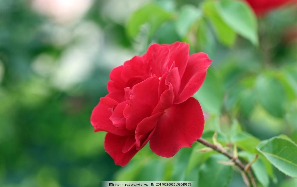 唯美 植物 自然 鲜花 花 花朵 花卉 美丽鲜花 月季 浪漫月季 月季花