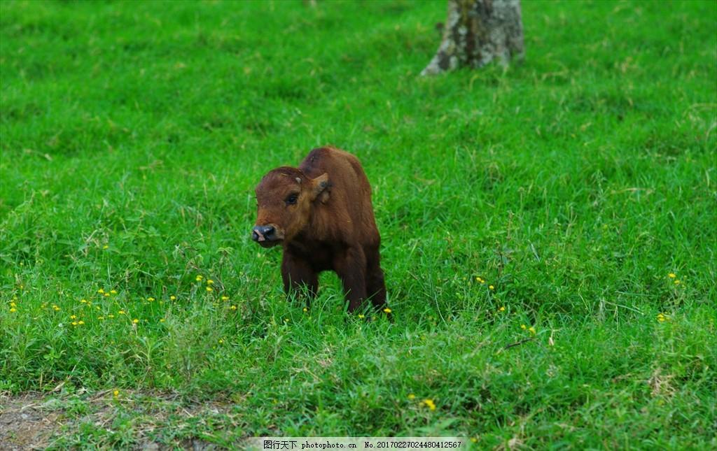 小牛 牛 幼崽 草地 野生 动物 非洲 旅游图片 摄影 生物世界 野生动物
